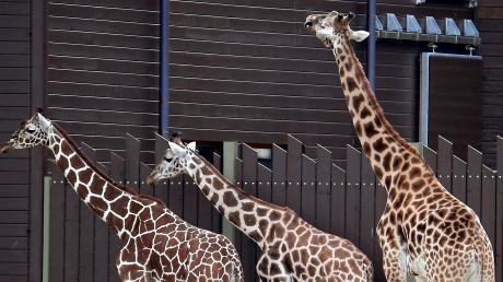 Giraffe Gaya (rechts) traut sich noch nicht aufs Gras. Zarafa (links) und Kimara haben dagegen keine Scheu, durch das Afrika-Panorama zu gehen.