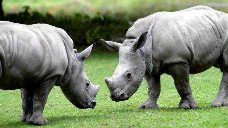 Als Nashornkinder haben die Halbgeschwister Kibo (links) und Keeva zusammen auf dem Afrikapanorama gerangelt. Bald verlassen sie den Zoo.