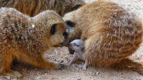 AZ-Leser Rudolf Speth hat den richtigen Moment erwischt und die Erdmännchenbabys fotografiert. Es ist eine der ersten offiziellen Aufnahmen der Kleinen.