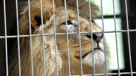 Der Löwe Aru war im Jahr 2015 aus Berlin nach Augsburg gekommen. Die beiden Weibchen Kira und Tara und er kamen jedoch nicht miteinander klar. Nun lebt er in Belgien.