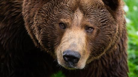 Braunbären wurden massiv gejagt und schließlich ausgerottet. Aus Bayerns Wäldern sind sie seit mehr als 150 Jahren verschwunden.