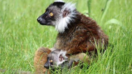 Mohrenmaki Nosy, hier mit ihrem Baby Amber auf einem Archivfoto von 2016 zu sehen, hat wieder Nachwuchs bekommen. Einen Namen hat der männliche Lemuren-Nachwuchs allerdings noch nicht.