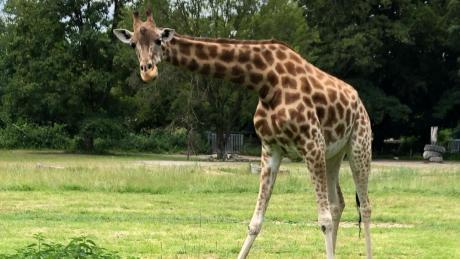 Der Zoo in Augsburg musste eine seiner drei Giraffen einschläfern lassen. Gaya, die lange nichts auf Gras laufen wollte, war unheilbar krank.