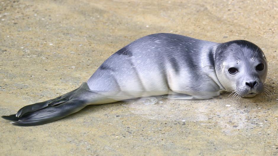 Seehund-Baby Zoo Augsburg