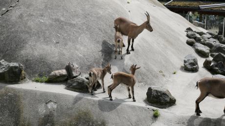 Drei Augsburger Steinböcke, die bislang im Zoo lebten, wurden vor wenigen Tagen ins Zillertal transportiert. Sie sollen dort dauerhaft in Freiheit leben.