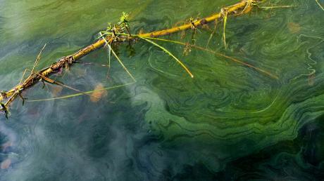 Dieses Foto stammt zwar nicht vom Mandichosee, sondern vom Weißenstädter See in Oberfranken. Es zeigt aber gut, wie sich die Blaualgen schlierenartig ausbreiten.