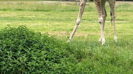 Im Sommer traute sich Giraffe Gaya endlich auf Gras. Doch sie hatte auch eine Gelenkerkrankung und musste jetzt eingeschläfert werden.