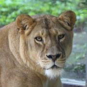 Die Löwin Tara musste eingeschläfert werden.