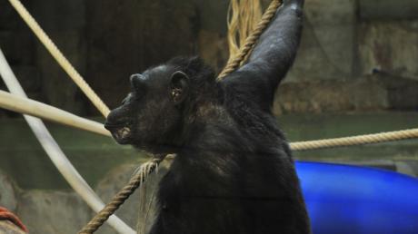 Im Augsburger Zoo herrscht an Silvester erhöhte Alarmbereitschaft wegen der Gefahren durch Feuerwerk. Auch hier gab es schon einmal einen verheerenden Brand im früheren Affenhaus. Im Oktober 1987 starben viele Paviane im Feuer.