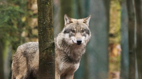 Schön, aber auch gefürchtet: der Wolf. In Bayern wird er immer häufiger gesichtet.