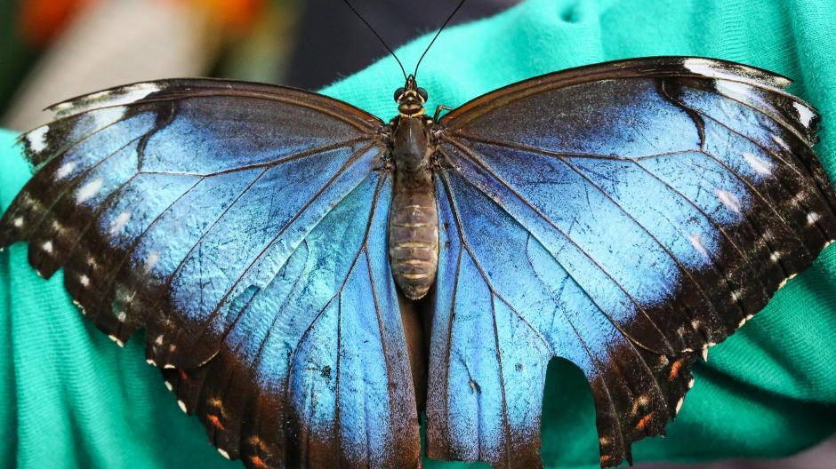 Ausstellung Im Botanischen Garten Fliegen Wieder Die Schmetterlinge Augsburger Allgemeine