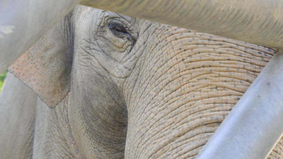 Die Augsburger Zooelefanten ziehen bald von ihrem Altbau ins neue Luxusdomizil nebenan um. Jetzt werden sie auf den großen Wechsel vorbereitet.