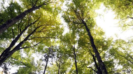 """Die Augsburger Wälder sind ein wertvoller Schatz. Sie leiden aber auch unter dem Klimawandel und müssen daher zum Teil """"umgebaut"""" werden."""