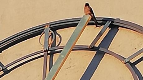"""Die Kirche """"Unsere Liebe Frau"""" in Lechhausen beherbergt seit 2021 Turmfalken im Kirchturm. Hier sitzt einer der Vögel auf dem Zeiger der Kirchenuhr in der Abendsonne sitzt."""