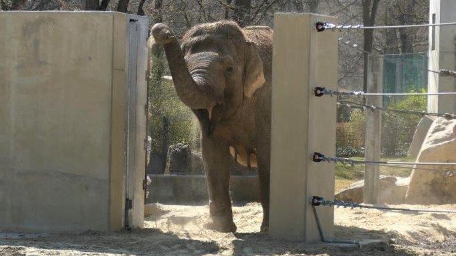 Neues Elefantenhaus in Augsburg: Targa traute sich schon zum Eingang des Geheges.