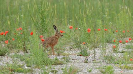 Auf der Alten Flugplatzheide und auch in anderen Naturräumen der Stadt leben noch vereinzelt Feldhasen. Anwohner in Kriegshaber sorgen sich nun um Tiere auf dem Reese-Areal.
