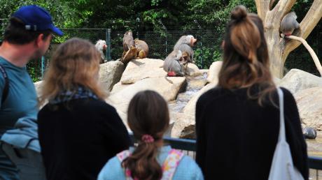 Nach der coronabedingten Schließung ist der Augsburger Zoo wieder geöffnet – allerdings gelten einige Beschränkungen. Besucher sollten einiges beachten.