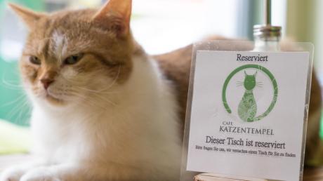 """Wer Katzen und veganes Essen mag, der ist im """"Katzentempel"""" richtig: Ein Restaurant der Kette soll demnächst in Augsburg eröffnen. Der Augsburger Tierschutzverein findet das gut."""