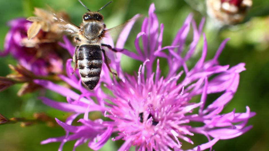 In Neu-Ulm ist ein Vorzeigeprojekt für den Bienen- und Naturschutz entstanden.