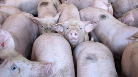 Wegen der Corona-Krise sind die Schlachtkapazitäten zurückgegangen. Das bekommen Schweinehalter im Landkreis zu spüren. Denn auch in ihren Ställen wird es voller.