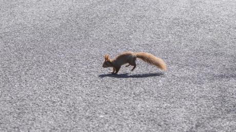 Eichhörnchen sind drollig anzusehen, doch wer eines mit dem Auto überrollt, sollte sich besser nicht mit gut gemeinten Rettungsaktionen in Gefahr bringen, warnt der ADAC.