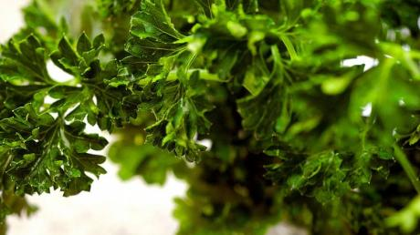 Wer Kräuter wie Petersilie im Garten wachsen lässt, muss sie nur wenig gießen. (Bild: dpa)