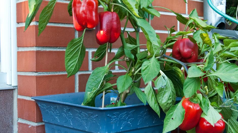 Obst Und Gemuse Fur Balkon Und Terrasse Bauen Wohnen
