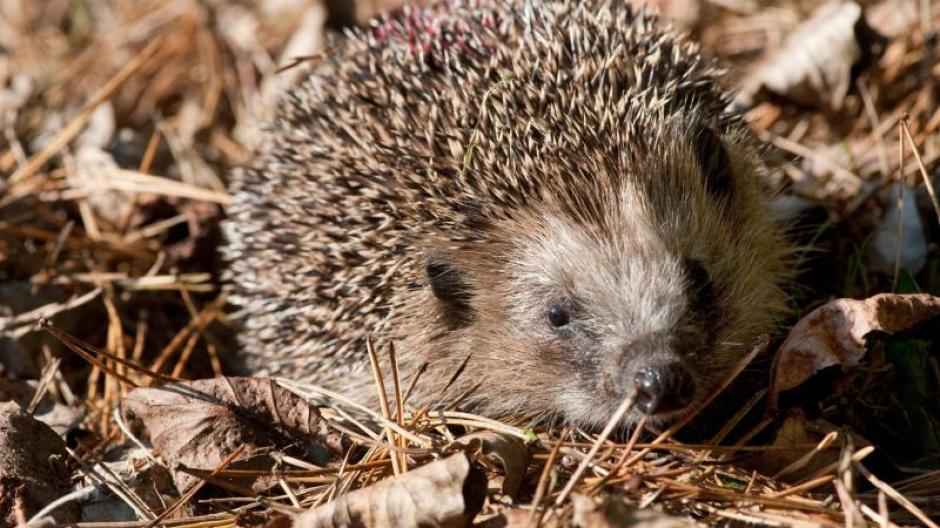 Igelhilfe Igel Sind Keine Haustiere Tierschützer Warnen Vor