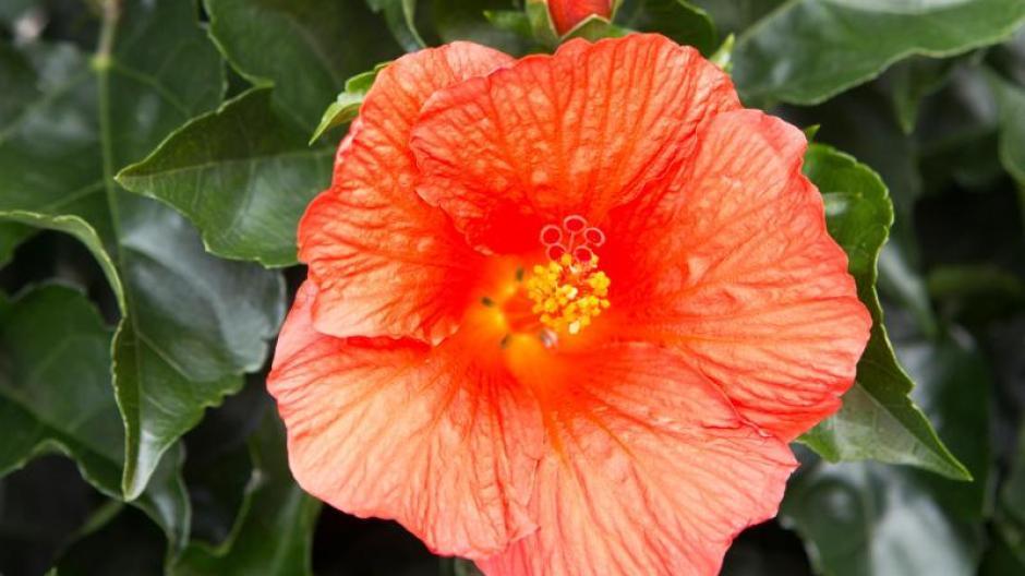 Fabelhaft Freizeit: Tomatendünger: Die Blüte des Hibiskus fördern - Bauen @PC_38