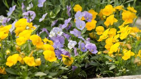 Die Hornveilchen (Viola cornuta) bilden immer wieder neue Blüten. Mit etwas Dünger Ende April hält die Blüte problemlos bis in den Sommer an. Foto: Andrea Warnecke