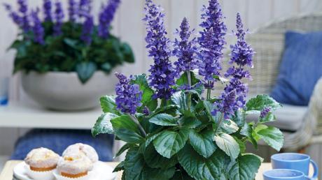Copy%20of%20Pflanze_des_Jahres_Frecher_Michel_Pressebild_Quelle_Florensis.tif