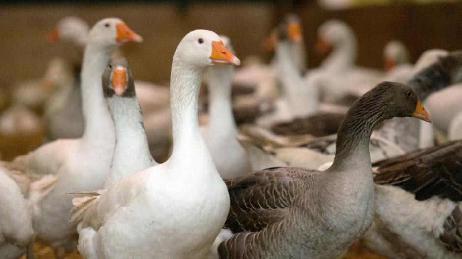 new product 2f1b5 0630d Landwirtschaft: Vogelgrippe: Jetzt muss das Geflügel im ...