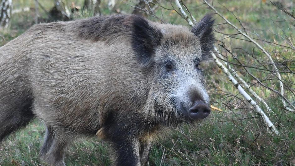 Virus in bayern geht die angst vor der schweinepest um
