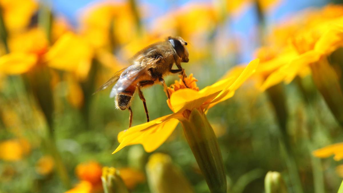 Bienen Volksbegehren: Bayern: Volksbegehren Will Die Bienen Retten