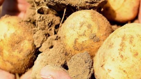 Bei Kartoffeln gibt es häufig Ernteschwankungen.