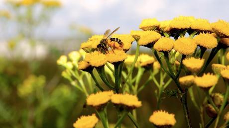Viele Landwirte in der Region haben Blühwiesen angelegt. Auf diesen Arealen werden Pflanzen kultiviert, die Insekten Nahrung bieten und damit einen Beitrag zum Artenschutz liefern.