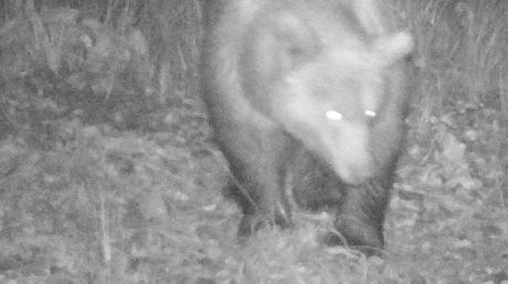 Einen seltenen Gast erwischte eine Wildkamera nahe des Plansees: Ein Bär treibt sich im österreichisch-bayerischen Grenzgebiet herum.