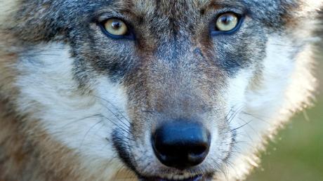 Der Wolf ist bei vielen Landwirten im Allgäu nicht gern gesehen.