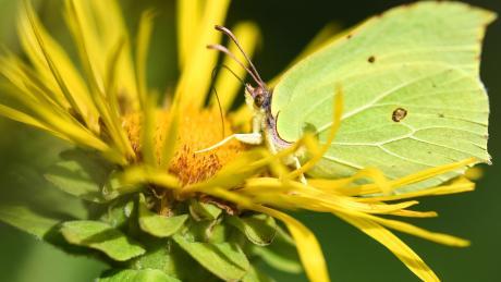 In Bayern gibt es immer weniger Schmetterlinge. Auch andere Insektenarten haben es schwer.