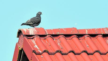 Viele Menschen ärgern sich vor allem über die Hinterlassenschaften der Tauben.