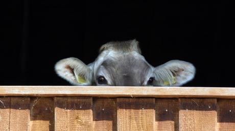 Immer wieder kommt es im Allgäu zu massiven Verstößen gegen das Tierschutzgesetzt.