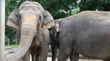 Burma und Targa (rechts) ziehen bald in das neue Elefantenhaus des Augsburger Zoos ein.