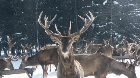 Hirsche im Wintergatter. Im Tiroler Lechtal wurden bei einer Aktion 33 der Wildtiere erschossen. Das sorgt für Empörung unter Jägern.