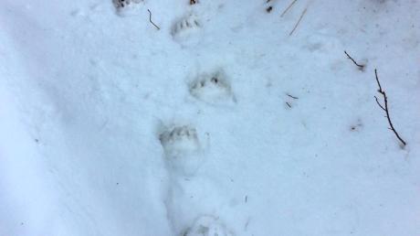 Diese Spuren hat der Bär in Garmisch-Partenkirchen hinterlassen.