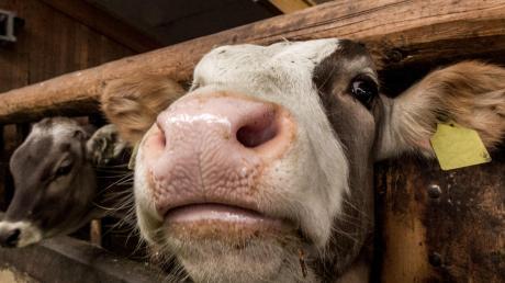Ein Landwirt aus der Region Aichach ist jetzt rechtskräftig verurteilt, weil seine Kühe bis zu den Knöcheln im eigenen Dreck standen und nicht ausreichend mit Wasser und Futter versorgt wurden.