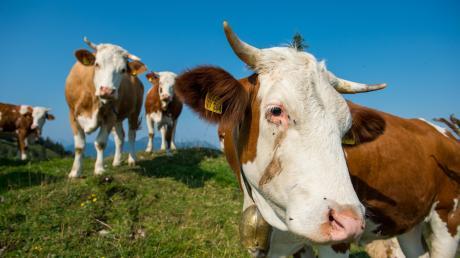 Kühe gelten eigentlich als sehr friedliche Tiere. Aber wenn sie erschreckt werden oder sich von Wanderern oder Hundebesitzern auf ihrer Weide bedroht fühlen, können sie auch Menschen angreifen.
