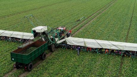 Etwa zwei Dutzend Erntehelfer arbeiten auf einem Gurkenflieger.
