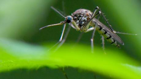 Der Wechsel zwischen feucht und warm ist für Stechmücken ideal.