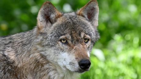 Er galt bereits als ausgerottet. Doch inzwischen gibt es in Deutschland wieder eine wachsende Wolfspopulation.