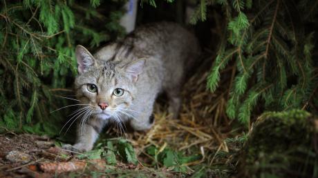 Die Wildkatze streunt wieder durch Bayerns Wälder. Sie ist vor allem im Norden verbreitet.